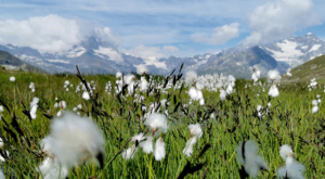sensationsvoyage-sensations-voyage-photo-photos-zermatt-matterhorn-mont-cervin-suisse-switerland-flowers-paysage