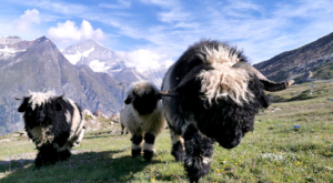 sensationsvoyage-sensations-voyage-photo-photos-zermatt-suisse--switzerland-black-nose-sheep-valais-2