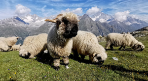 sensationsvoyage-sensations-voyage-photo-photos-zermatt-suisse--switzerland-black-nose-sheep-valais-3