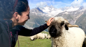 sensationsvoyage-sensations-voyage-photo-photos-zermatt-suisse--switzerland-black-nose-sheep-valais-7