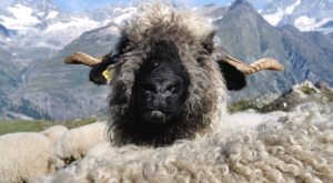sensationsvoyage-sensations-voyage-photo-photos-zermatt-suisse--switzerland-black-nose-sheep-valais-8