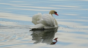 sensationsvoyage-sensations-voyage-photo-suisse-geneve-lac-leman-cygne-love-spring-2
