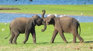 sensationsvoyage-voyage-sri-lanka-kaudulla-elephants-kids