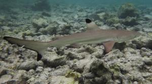 sensationsvoyage-voyage-sri-lanka-maldives-snorkeling-plongee-shark-2