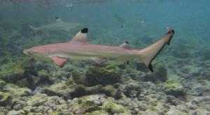 sensationsvoyage-voyage-sri-lanka-maldives-snorkeling-plongee-shark-3