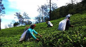 sensationsvoyage-voyage-sri-lanka-nuwara-eliya-tea-plantation-xueilleuses