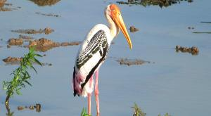 sensationsvoyage-voyage-sri-lanka-photos-bird-marabout-safari-yala