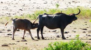 sensationsvoyage-voyage-sri-lanka-photos-buffalo-buffle-safari-yala