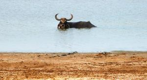 sensationsvoyage-voyage-sri-lanka-photos-buffalo-safari-yala-2