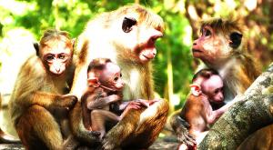 sensationsvoyage-voyage-sri-lanka-photos-singe-monkey-1