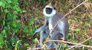 sensationsvoyage-voyage-sri-lanka-photos-singe-monkey