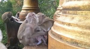 sensationsvoyage-voyage-thailande-krabi-temple-Wat-Tham-Suea-monkey