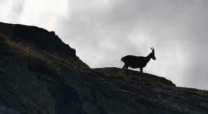 sensationsvoyage photos suisse riffelapls zermatt hike matterhorn bouquetin 2
