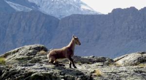 sensationsvoyage photos suisse riffelapls zermatt hike matterhorn bouquetin baby cob