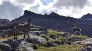 sensationsvoyage photos suisse riffelapls zermatt hike matterhorn bouquetins