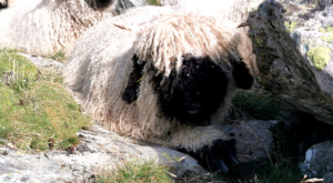 sensationsvoyage photos suisse riffelapls zermatt hike matterhorn mountain black nose sheep-mouton