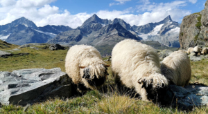 sensationsvoyage photos suisse riffelapls zermatt hike matterhorn mountain black nose sheep