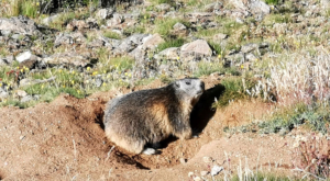 sensationsvoyage photos suisse riffelapls zermatt marmotte