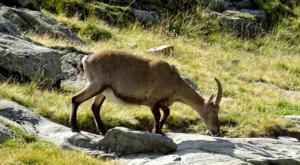 sensationsvoyage photos suisse riffelapls zermatt riffelsee weg ibex bouquetin