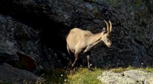 sensationsvoyage photos suisse riffelapls zermatt riffelsee weg ibex bouquetin 1