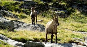 sensationsvoyage photos suisse riffelapls zermatt riffelsee weg ibex family