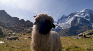 sensationsvoyage photos suisse riffelapls zermatt riffelsee weg sheep portrait